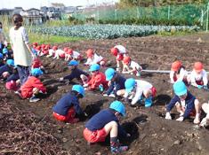 子どもたちがイモ掘りを体験しました。